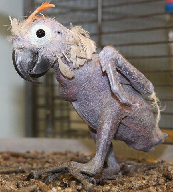 Papoušek bez peří je trochu děsivý