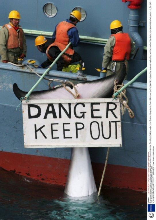 Maso velryb, které loví a následně zpracovávají japonští velrybáři na lodi Nisshin Maru, je halal- tedy pro muslimy nezávadné a čisté. A zatímco muslimové se chystají na velrybí hody, zbytek světa se snaží přemluvit Japonce, aby přestali lovit velryby.