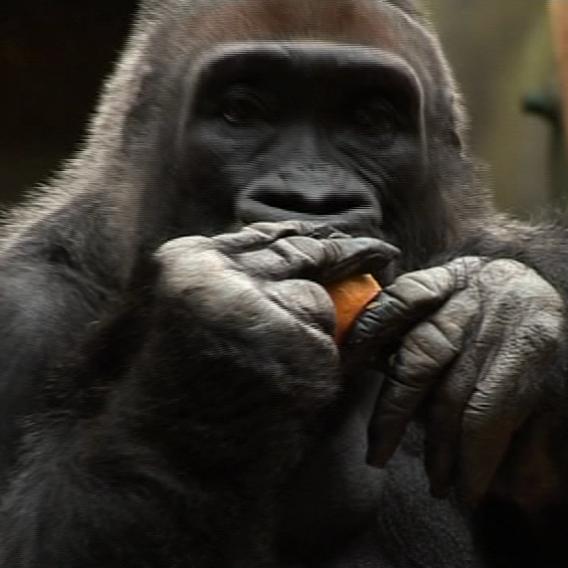 Největší radost měly v zoo z vánočních dárků opice