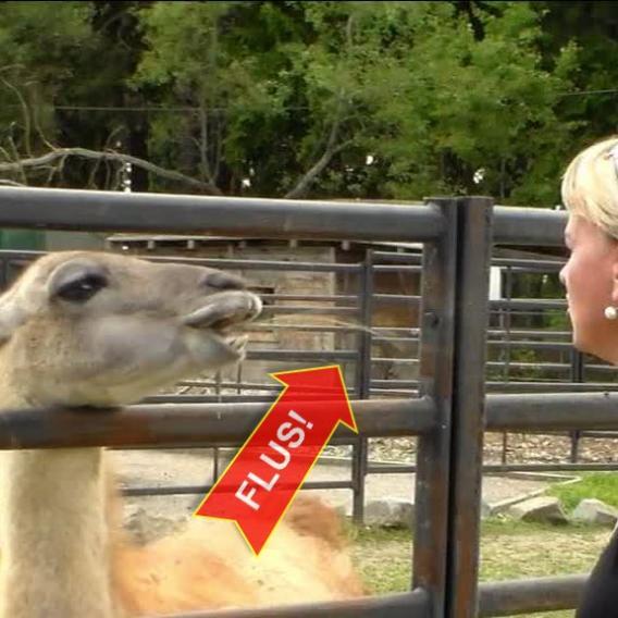Video Divácké zprávy: Nechoďte k lamám moc blízko!