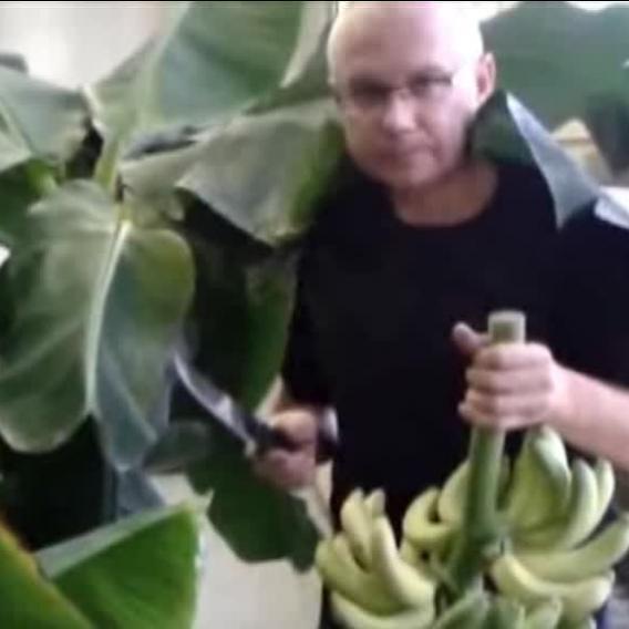 Video Divácké zprávy: Čerstvé banány si můžete sami vypěstovat i v Čechách