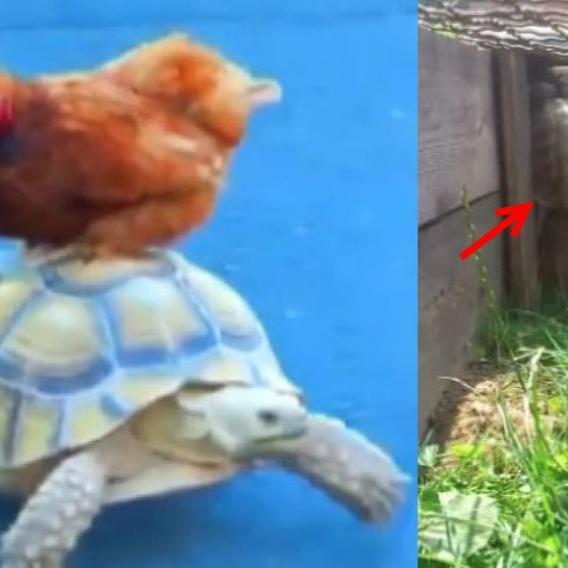 Video Divácké zprávy: Želva si hraje na pavouka - a na taxikáře