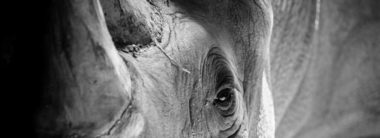 Předkové nosorožců se po travnatých pláních Asie a Afriky proháněli už před nějakými 30 miliony lety