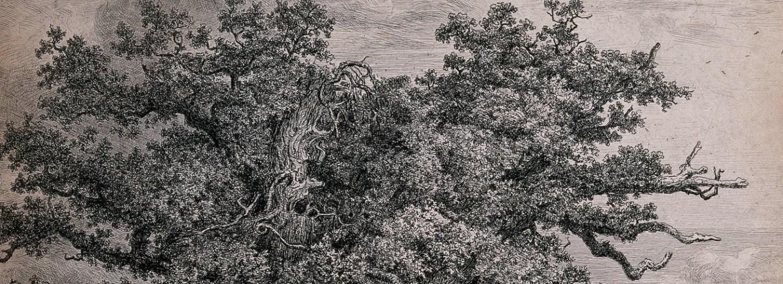 Dub letní je často volně rostoucí rozložitý strom