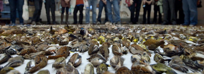 Dobrovolníci každoročně v Torontu sesbírají tisíce mrtvých ptáků zabitých nárazem do budov