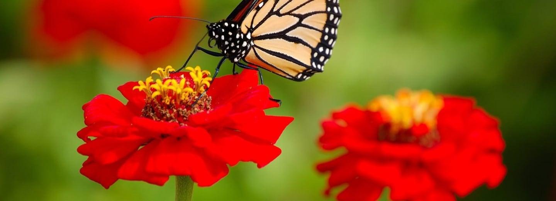Monarcha stěhovavý na květině