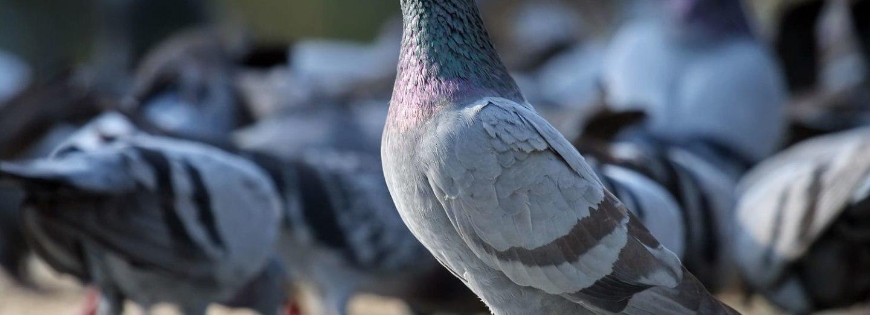 Domestikovaná forma holuba skalního