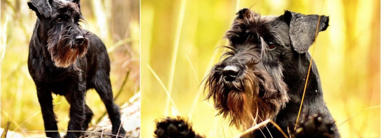 Knírač, právem oblíbený psí společník
