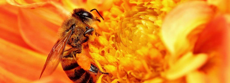 Včely - nejdůležitější opylovači