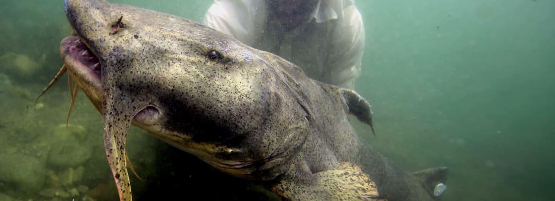 Obří exemplář ryby Sisora Yarrellova příbuzné sumci můžete ulovit v indických řekách