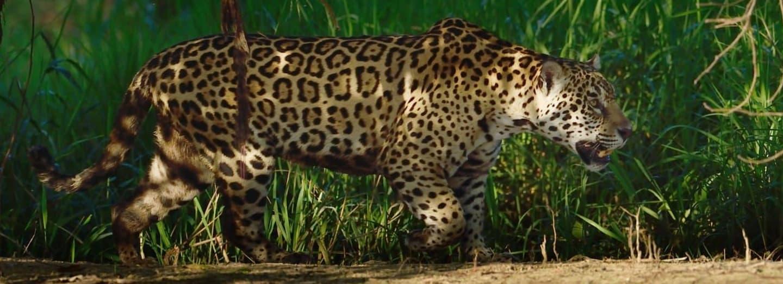 Jaguár americký je největší šelmou západní polokoule