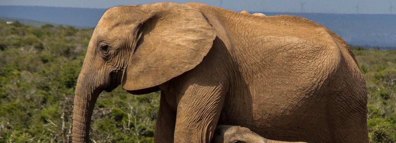 Sloni jsou ikonickými obyvateli afrického buše