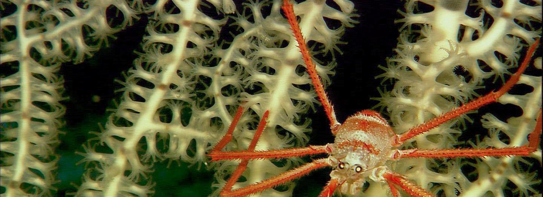Krab pavoučí je typickým obyvatelem mořského dna
