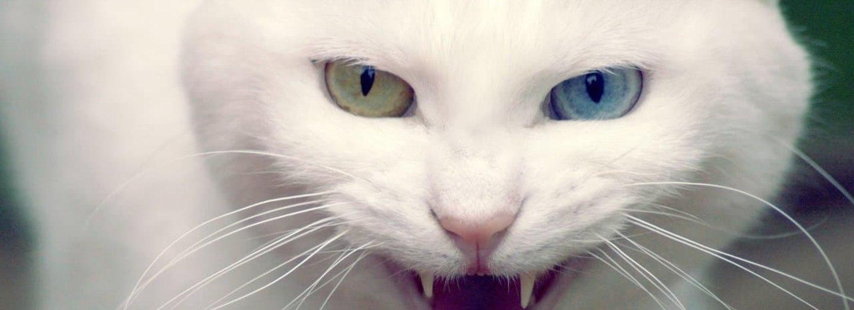 Syčící kočka