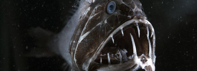 Zubatice obecná žije až v pětikilometrové hloubce