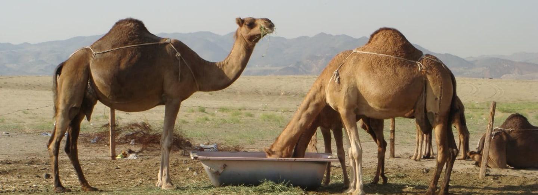 Pohromou Austrálie jsou žízniví velbloudi