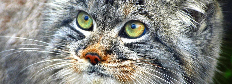 Manul - uhrančivý pohled ohrožené kočky