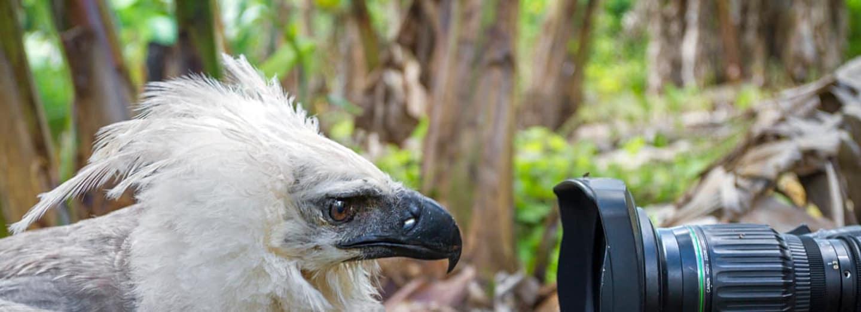 Harpyje patří k nejméně poznaným dravcům