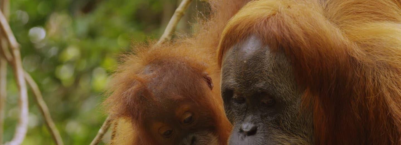 Samice orangutana vychovává své mládě až 12 let