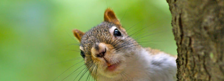 Veverky patří k nejmrštnějším obyvatelům stromů na Zemi