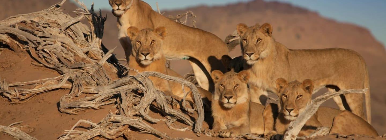Z této pětice lvích sourozenců zůstal naživu už jen jeden