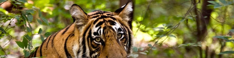 Návrat tygrů