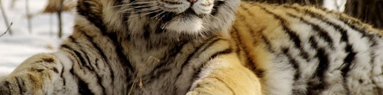 Amba, ussurijský tygr