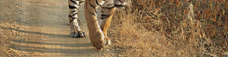 Tygr zvaný Zlomený ocas