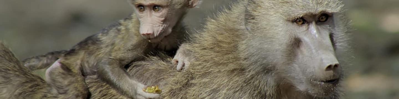 V zemi primátů