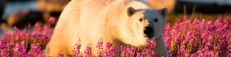 Léto ledních medvědů