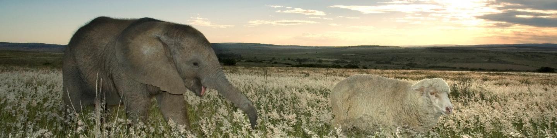 Slůně a jeho ovce