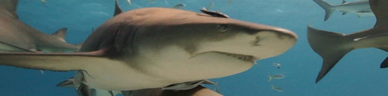 Divocí žraloci