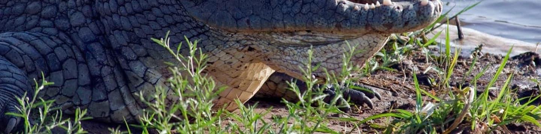 Divocí afričtí krokodýli