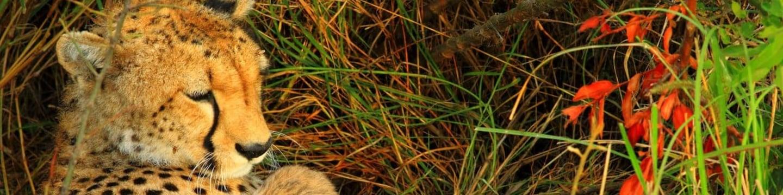 Gepardí matka