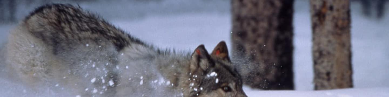 V říši medvědů a vlků
