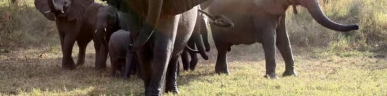 Sloni útočí