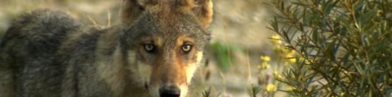 Divocí vlci v Německu