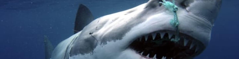 Po stopách žraloka bílého