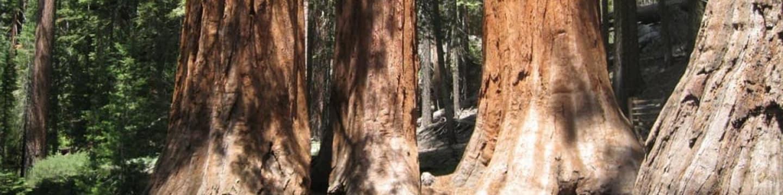 Les obřích eukalyptů