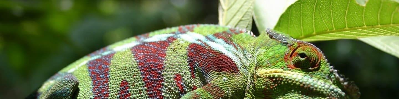 Neznámý svět chameleonů