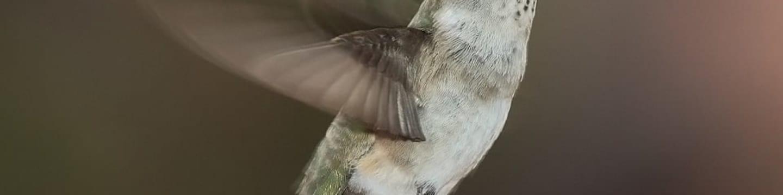 Legendární kolibřík