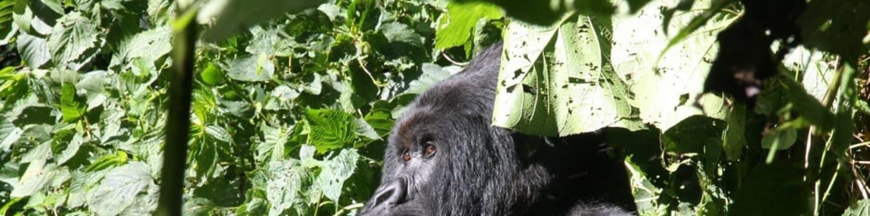 Poslední gorily v parku Virunga