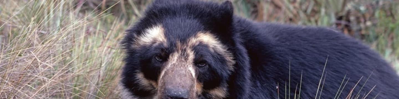 Medvědi brýlatí: Stíny lesa
