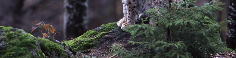 Návrat predátorů