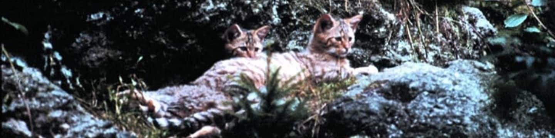 Soukromý život evropských savců: Kočka divoká evropská
