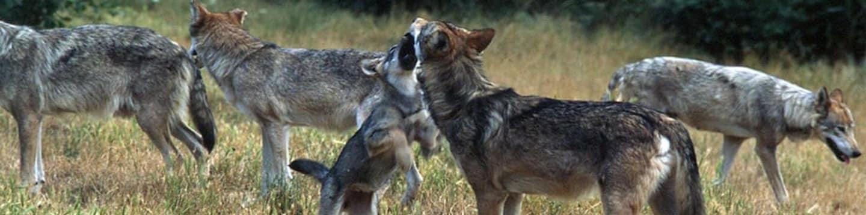 Soukromý život evropských savců: Příběh vlka