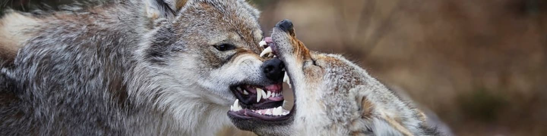 Expedice vlk