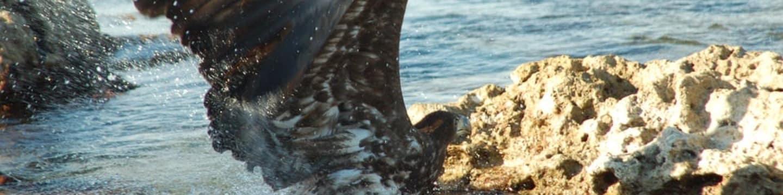 Orel mořský: Bystrozraký predátor