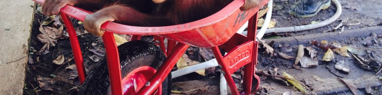 Záchrana orangutanů