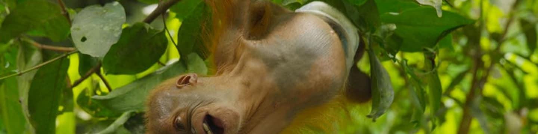Poslední ráj orangutanů